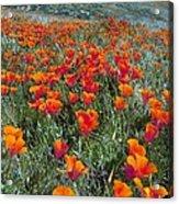 Californian Poppies (eschscholzia) Acrylic Print by Bob Gibbons