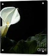 Calla Lily Against Black Acrylic Print