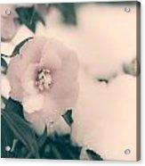 Camellia Acrylic Print by Joana Kruse