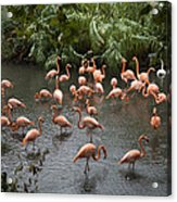 Caribbean Flamingos At The Zoo Acrylic Print