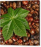 Castor Bean Leaf And Seeds Acrylic Print
