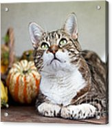 Cat And Pumpkins Acrylic Print