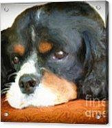 Cavalier King Charles Spaniel Acrylic Print