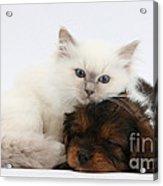 Cavapoo Pup And Blue-point Kitten Acrylic Print