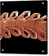 Centipede Underside, Sem Acrylic Print by Steve Gschmeissner