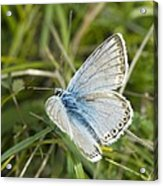 Chalkhill Blue Butterfly Acrylic Print