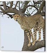 Cheetah Acinonyx Jubatus Female Acrylic Print