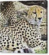 Cheetahs Resting Acrylic Print