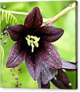 Chocolate Lilly Acrylic Print