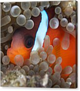 Cinnamon Clownfish In Its Host Anemone Acrylic Print