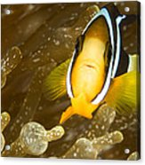 Clarks Anemonefish Among An Anemones Acrylic Print by Tim Laman