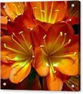 Clivia Bloom Acrylic Print