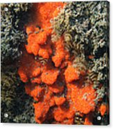 Close-up Of Live Sponge Acrylic Print by Ted Kinsman