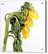 Close Up Of Sunflower. Acrylic Print