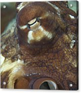 Close-up View Of A Common Octopus Acrylic Print