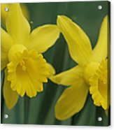 Close View Of Early Spring Daffodils Acrylic Print