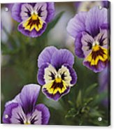 Close View Of Pansy Blossoms Acrylic Print
