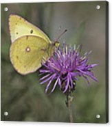 Clouded Yellow Butterfly Acrylic Print