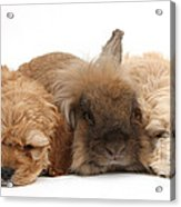 Cockerpoo Puppies And Rabbit Acrylic Print