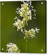 Cocksfoot Grass (dactylis Glomerata) Acrylic Print