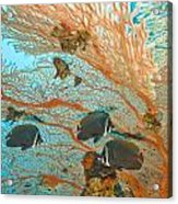 Collare Butterflyfish Acrylic Print
