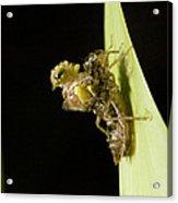 Common Darter Dragonfly Metamorphosis Acrylic Print