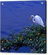 Common Egret Acrylic Print