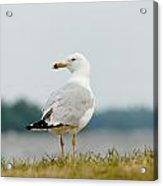 Common Gull Acrylic Print