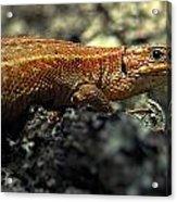 Common Lizard Acrylic Print
