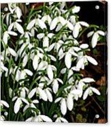 Common Snowdrop (galanthus Nivalis) Acrylic Print