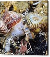 Common Whelk Acrylic Print