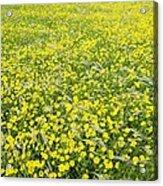 Corn Marigolds (chrysanthemum Segetum) Acrylic Print