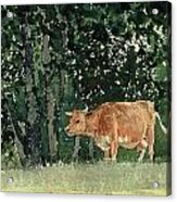 Cow In Pasture Acrylic Print