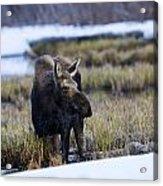 Cow Moose Acrylic Print