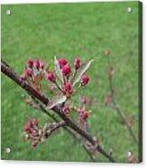 Crab Apple Tree Buds Acrylic Print