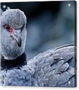Crested Screamer Acrylic Print