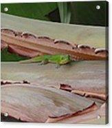Curious Gecko Acrylic Print