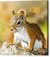 Cute Red Squirrel Closeup Acrylic Print