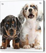 Dachshund Puppies Acrylic Print