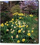 Daffodils (narcissus Sp.) Acrylic Print