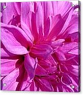 Dahlia Named Lilac Time Acrylic Print