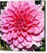 Dahlia Named Lucky Number Acrylic Print