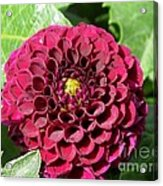 Dahlia Named Pride Of Place Acrylic Print