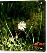 Daisy Daisy Acrylic Print by Isabella F Abbie Shores FRSA