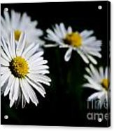 Daisy Flowers Acrylic Print
