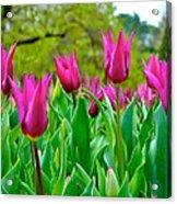 Dancing Tulips Acrylic Print