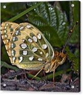 Dark Green Fritillary Butterfly Acrylic Print