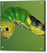 Dead-leaf Moth Oxytenis Modestia Acrylic Print