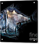 Deep-sea Hatchetfish Acrylic Print