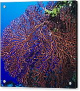 Deep Water Sea Fan Acrylic Print